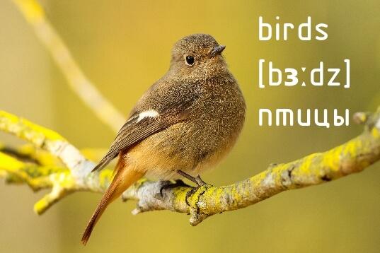 Птицы на английском языке: перевод, транскрипция